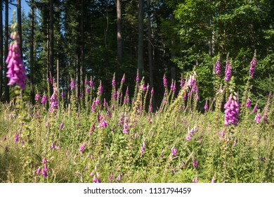 common foxglove, Black Forest, Germany