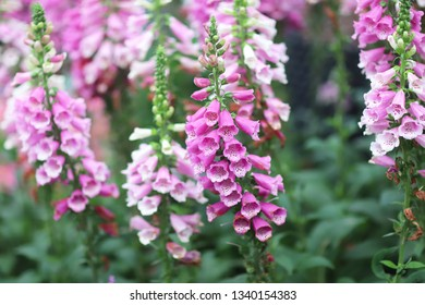 a common foxglove flowers in natural vegetation ambiance