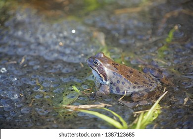 Common frog, Rana temporaria, also known as the European common frog, European common brown frog and European grass frog, on a pond filled with spawn