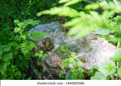 The common frog (Rana temporaria), also known as the European common frog, European common brown frog, European grass frog, sitting on a rock, stone in a forest surrounded by green grass