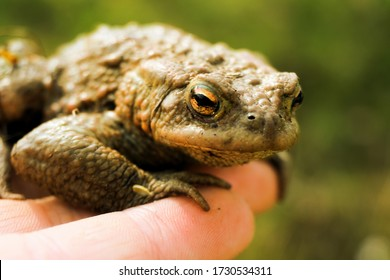The common frog (Rana temporaria), also known as the European common frog, European common brown frog, or European grass frog sitting on a hand.