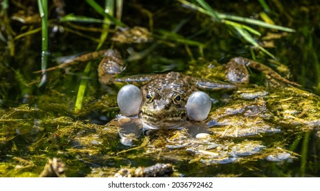 Common frog, Rana temporaria, single reptile croaking in water, also known as the European common frog or European grass frog, is a semi-aquatic amphibian of the family Ranidae