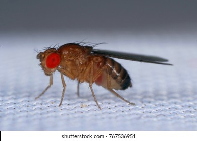 common fruit fly or vinegar fly Drosophila melanogaster is a species of fly in the family Drosophilidae. It is pest of fruits and food made from fruit