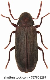 The common furniture beetle or common house borer (Anobium punctatum), is a woodboring beetle from family Anobiidae. Isolated on a white background.