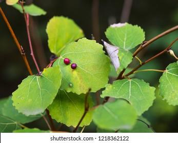 Common gall midges on an aspen leaf (Populus tremula).