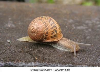 Common Garden Snail, (Helix aspersa)
