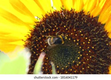 Common Garden Sunflower - Helianthus annuus