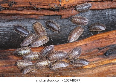 Common Garden Woodlice (Oniscus asellus) feeding on a rotting log
