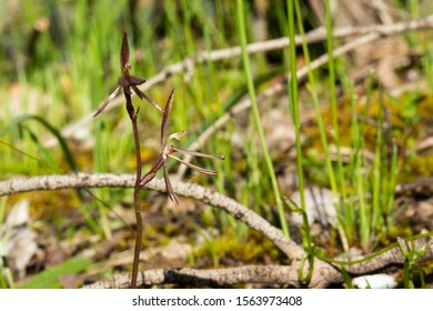 The Common Gnat-orchid (Cyrtostylis reniformis) is a species of orchid endemic to eastern Australia. It usually has a single kidney-shaped leaf and a flowering spike with up to eight reddish flowers.