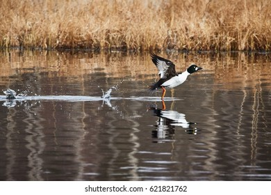 Common golden eye, Bucephala clangula, taking off and splashing water on the lake