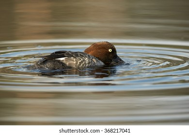 Common goldeneye Bucephala clangula,sea duck in its breeding habitat in the taiga. Female swimming in lake of boreal forest, feeding, reflections and circles on water surface.