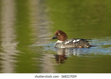 Common goldeneye Bucephala clangula,sea duck in its breeding habitat in the taiga. Female swimming in lake of boreal forest, reflections on water surface.
