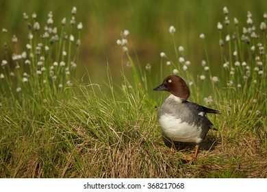 Common goldeneye Bucephala clangula,sea duck in its breeding habitat in the taiga,female on the lakeside, flowering grass and deep green meadow in background.