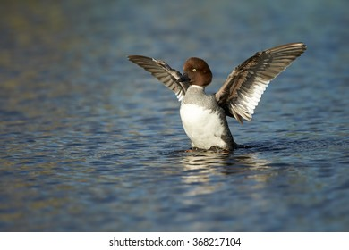 Common goldeneye Bucephala clangula,sea duck in its breeding habitat in the taiga. Female in lake of boreal forest, in the moment of take off, outstretched wings, reflections on water surface.Finland