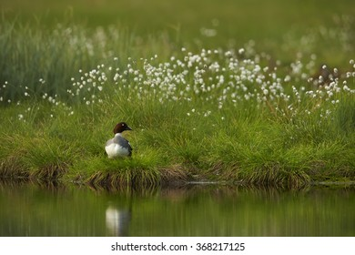 Common goldeneye Bucephala clangula,sea duck in its breeding habitat in the taiga,female on the lakeside, flowering grass and deep green meadow reflects on water surface.