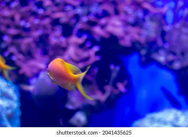 Common Goldfish (Carassius auratus) in aquarium shot from the back with purple background. Selective and partial focus image
