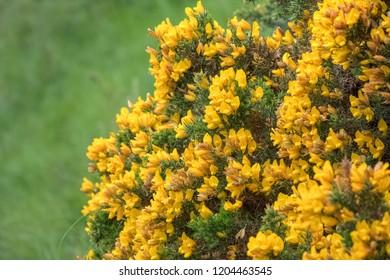 Common gorse full flower, Scotland