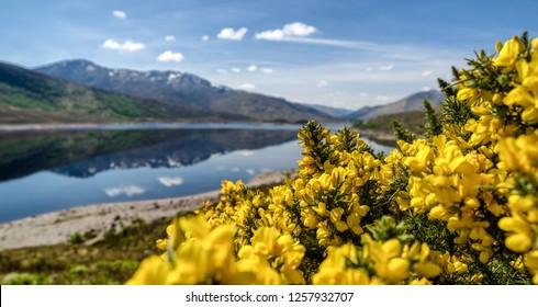 Common gorse - Ulex europaeus - Yellow flowers in Glen Shiel, Scotland