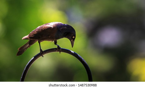 A common grackle awaits its turn at the feeder.