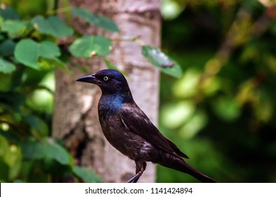 Common Grackle Bird