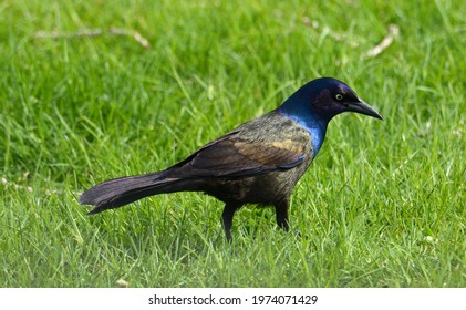 Common grackle bird or Quiscalus quiscula in springtime green grass