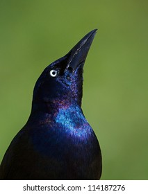 Common Grackle, close up portrait with head in upright position, and bill pointing to the sky, isolated on a natural green background, Quiscalus quiscula