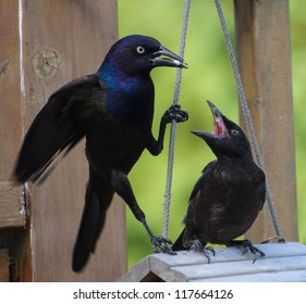 Common Grackle Feeds her Chick