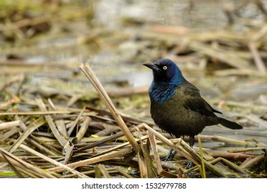 Common Grackle foraging amongst the reeds.