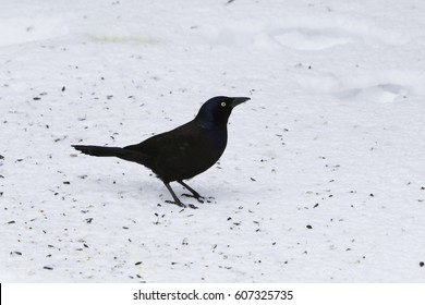 Common Grackle isolated, Great tailed grackle on snow.