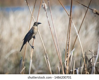 Common Grackle on a branch - Wildlife in nature