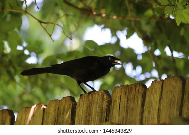 common grackle on a fence