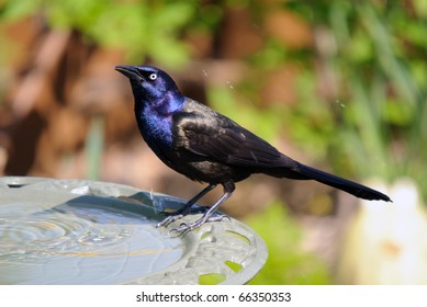 Common Grackle on the side of a bird bath