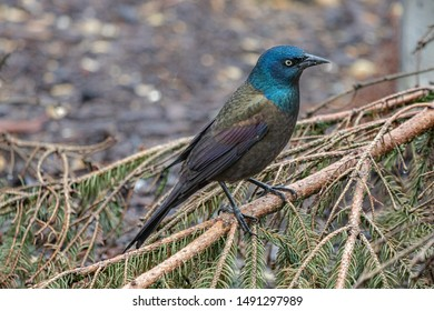 Common grackle on a tree branch