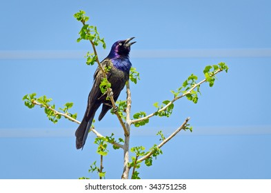 Common Grackle on tree top in spring time