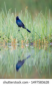 A Common Grackle perched in aquatic green grass and its reflection in the calm water.