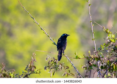 Common Grackle perched on a branch in a bush