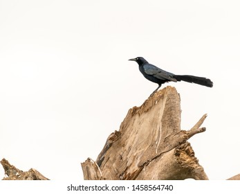 Common Grackle (Quiscalus quiscula) in Costa Rica