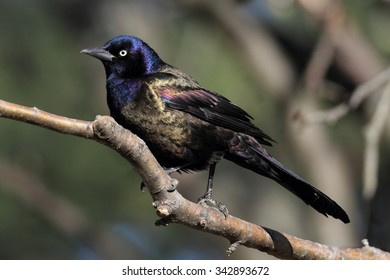 Common Grackle (quiscalus quiscula) on a perch