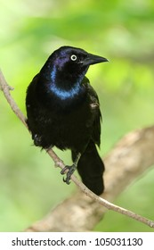 Common Grackle (Quiscalus quiscula) - Ontario, Canada