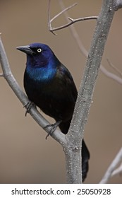 Common Grackle (Quiscalus quiscula stonei), Purple subspecies, sitting in tree