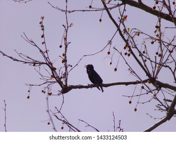 Common Grackle singing from the trees.