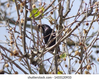 Common Grackle sitting among tree branches with food in its beak.