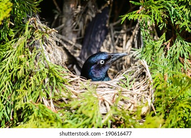 COMMON GRACKLE SITTING ON EGGS IN THE NEST