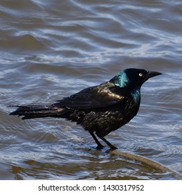 Common Grackle Taken in Rockford Illinois