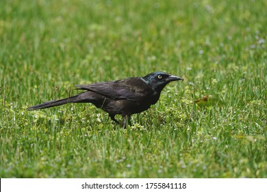 Common Grackle that found food resources.