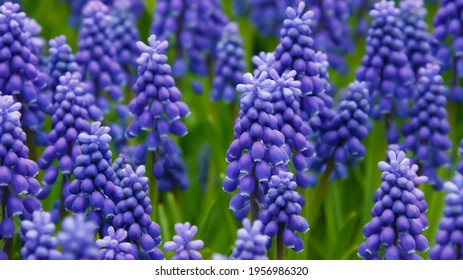 Common grape hyacinth: a species of Grape hyacinths, also known as Compact, Small and Italian grape hyacinth, its botanical name is Muscari botryoides.