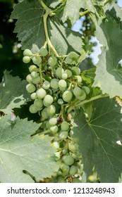 Common Grape Vine (Vitis vinifera) in orchard, Republic of Dagestan, Russia