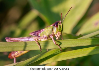 A common grasshopper on a meadow