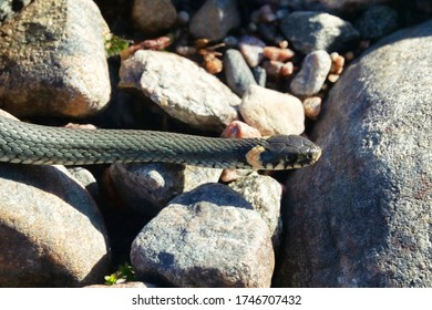 Common Grass-snake (Natrix natrix) from the East Baltic sea coast, where the main biotope is granite outcrops (granite boulders after an ancient glacier)