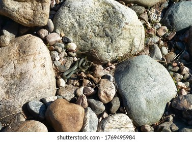 Common Grass-snake (Natrix natrix) from the East Baltic sea coast, where the main biotope is granite outcrops (granite boulders after an ancient glacier). A snake in a protective coiled position